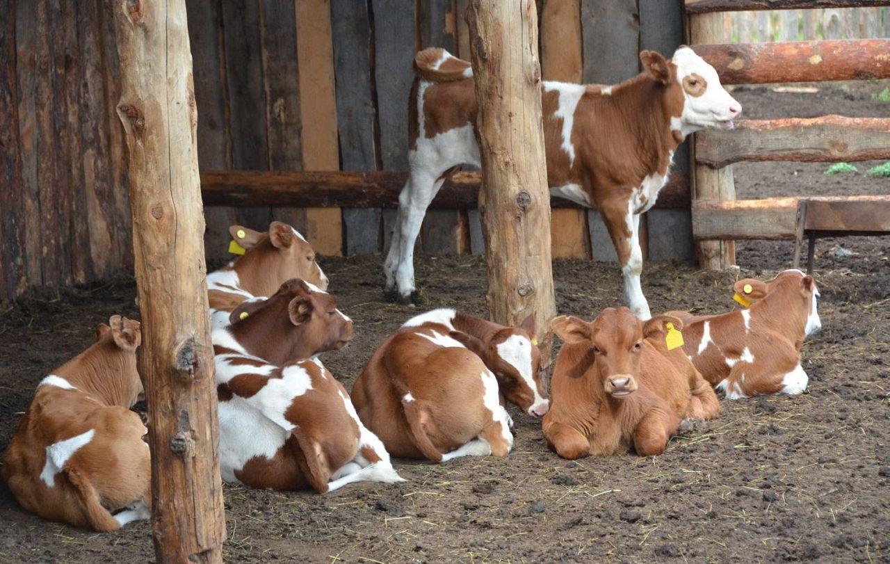 Неподходящие телята отбраковываются на мясо