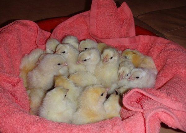 Суточные цыплята Леггорн белый