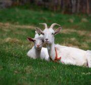Чем кормить козу?