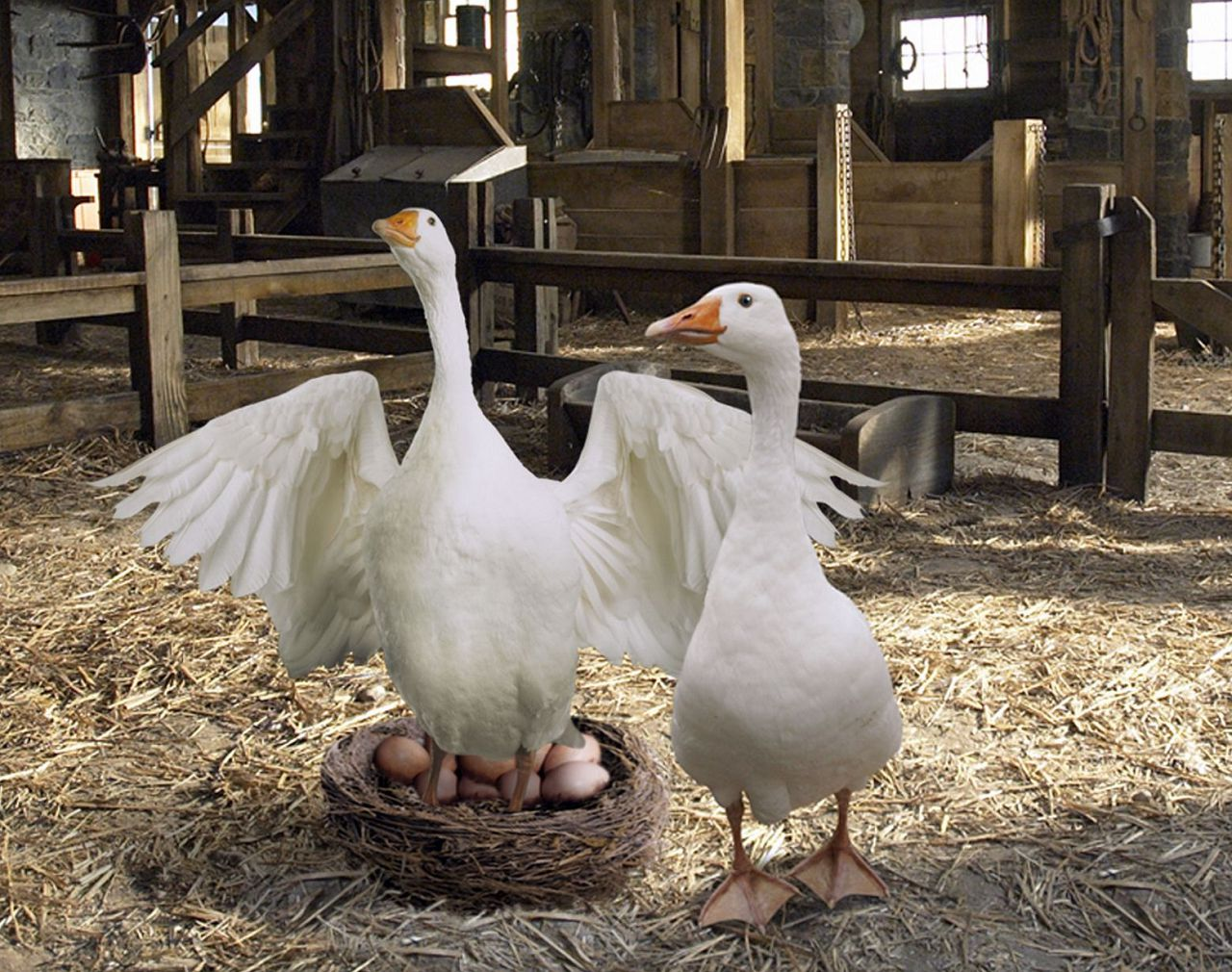 Можно подложить другие яйца в гнездо и посмотреть на поведение гусыни