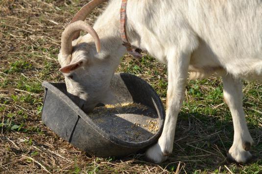 Концентрированние корма дают козам необходимые вещества