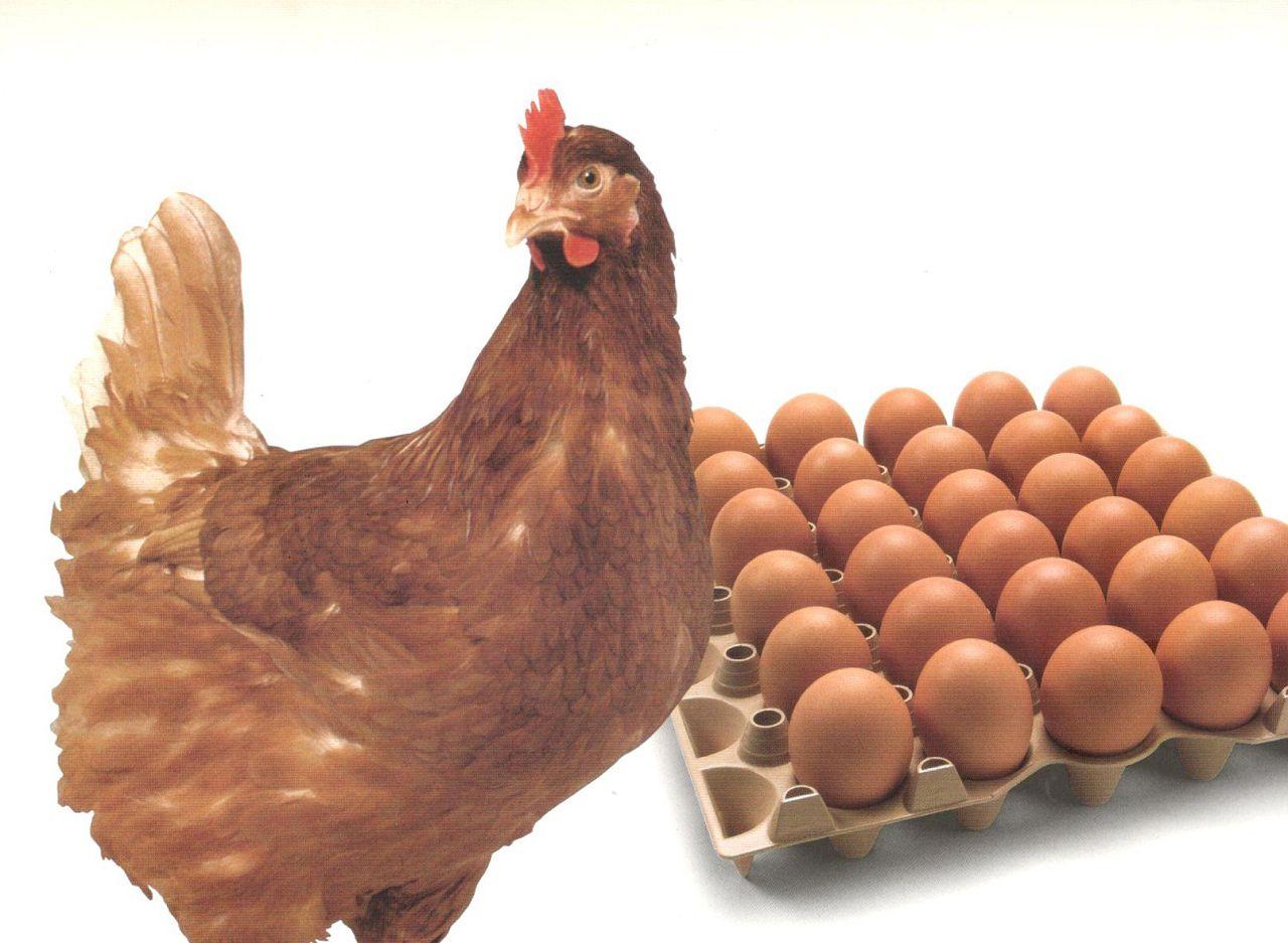 У кроссов Соня, Сильвер Браун скорлупа коричневого оттенка, яйца достаточно крупные