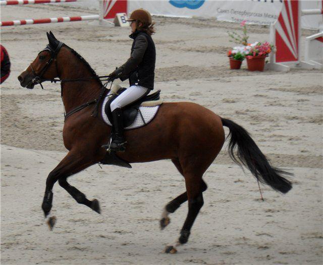 Несмотря на многочисленные скрещивания с разными породами, голштинская остается самой востребованной породой лошадей на различных соревнованиях