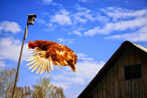 Куры породы феникс достаточно хорошо летают, об этом нужно помнить отправляя птиц на выгул