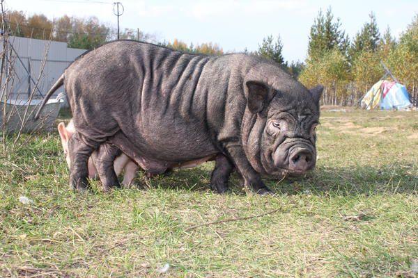 Корейская свинья