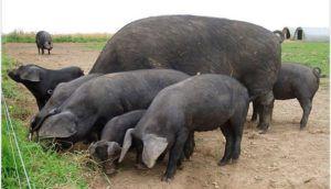 Крупная черная свинья
