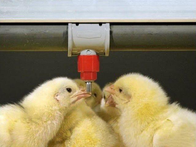 Цыплята у поилки