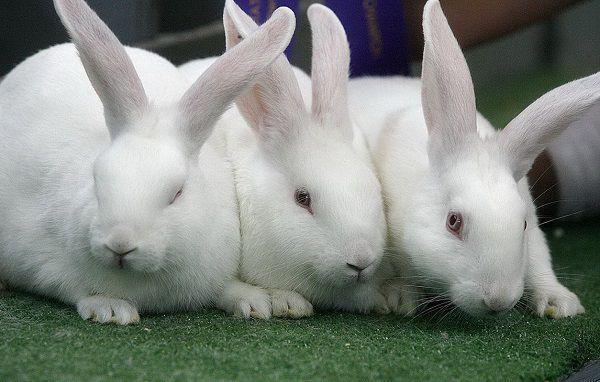 Как определить пол кролика