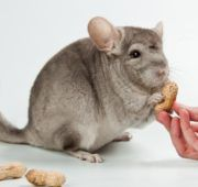 Питание грызунов должно быть полноценным и разнообразным