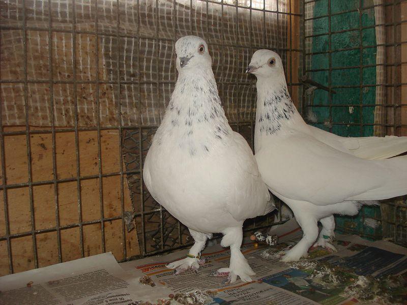 Голуби венгры