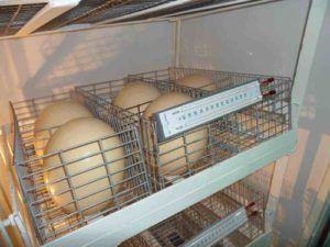 Страусиные яйца в инкубаторе