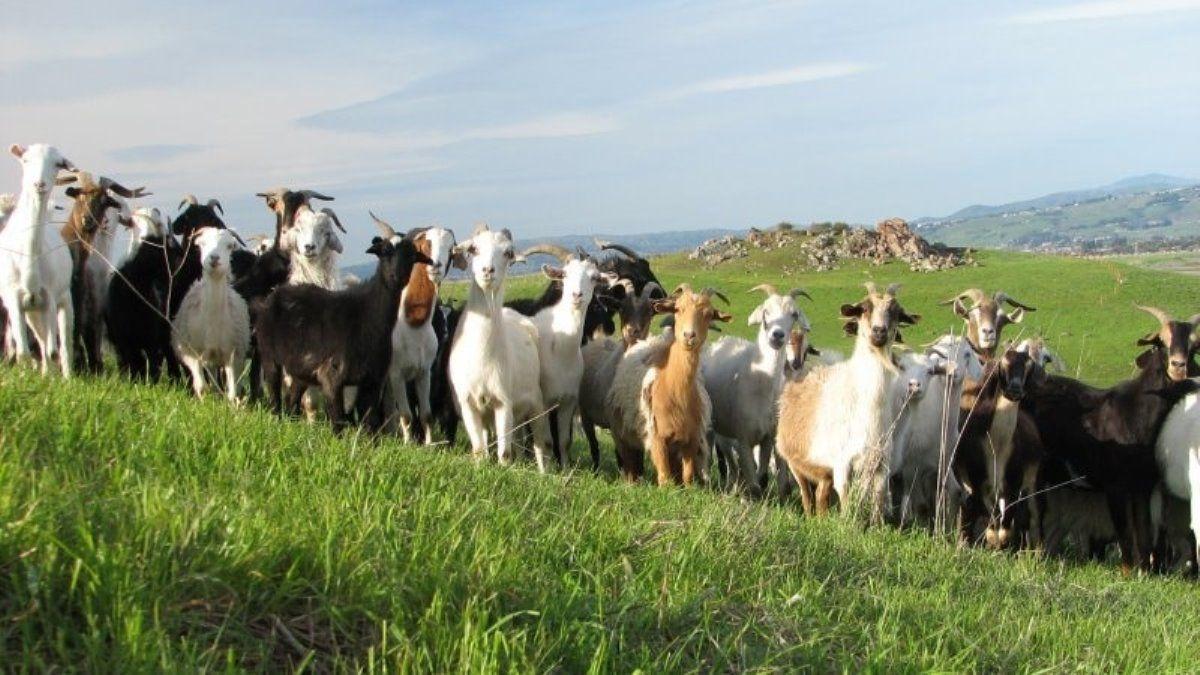 Стадо молочных коз на пастбище