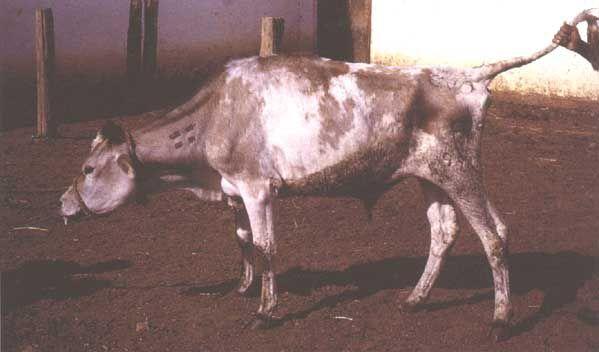 Корова, больная пастереллёзом