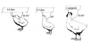 Высота поилки для кур