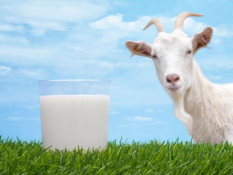 Коза даёт 2-3 литра молока в день