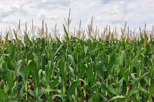 Листья и початки кукурузы