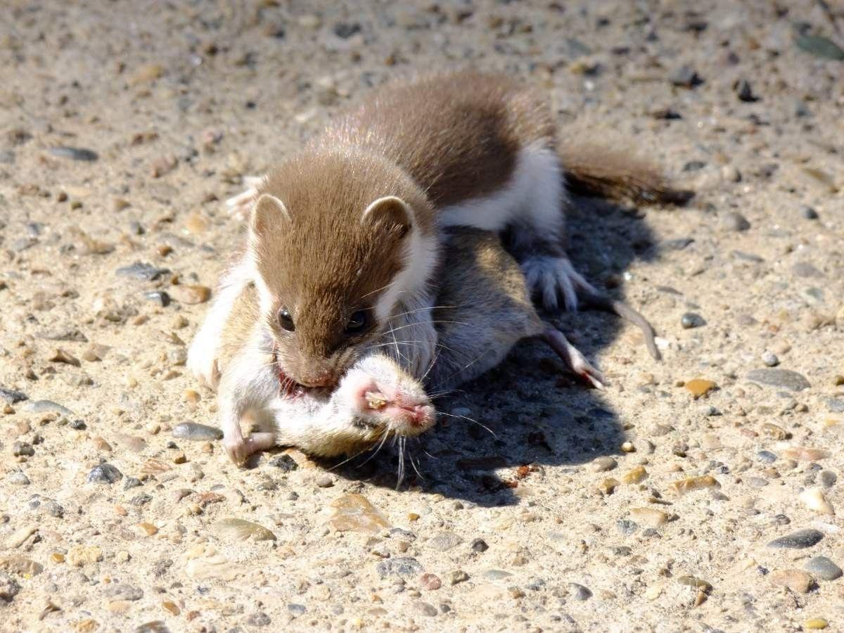 Ласка питается преимущественно мышами и крысами