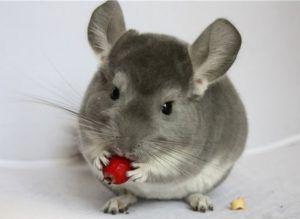 Шиповник - одна из наиболее полезных разновидностей прикорма для грызунов