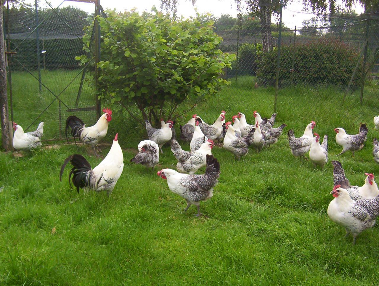 Бресс Галльская порода кур на пастбище