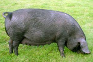 Задняя часть туловища крупной черной свиньи считается слегка обвисшей