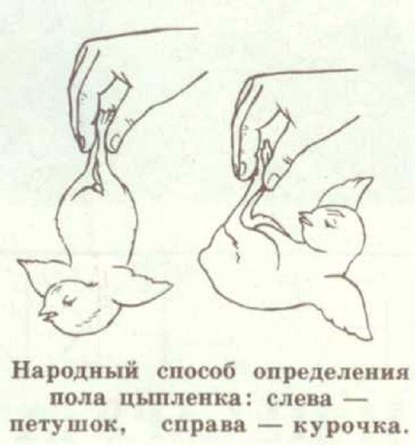 Определение пола цыплят с помощью подвешивания за ноги