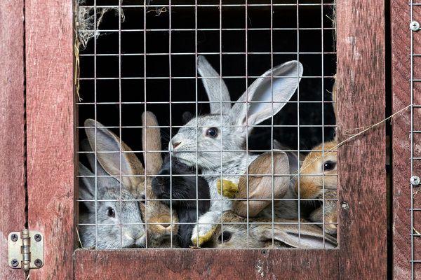 Вторичные половые признаки кроликов помогут вам точно определить пол каждого ушастого подопечного
