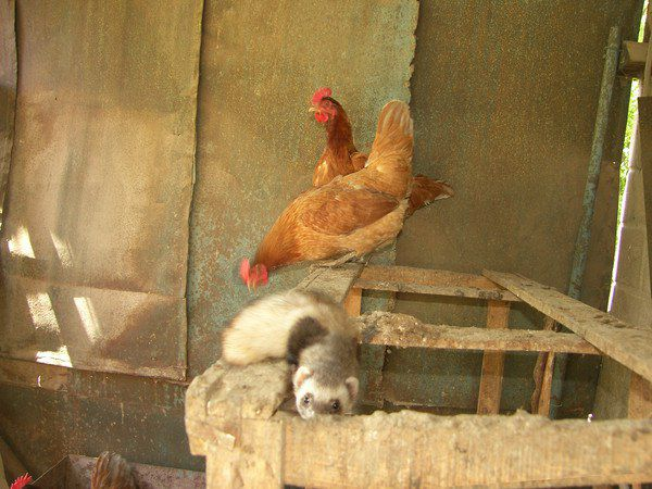 Куньи легко находят способы пробраться в курятник