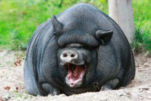 Вьетнамская вислобрюхая черная свинья
