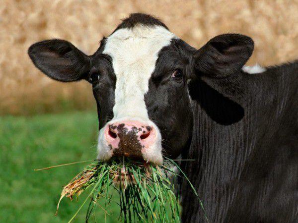 Основу рациона животных должны составлять растительные корма