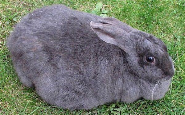 Самка кролика имеет округлые очертания тела и объемный круп