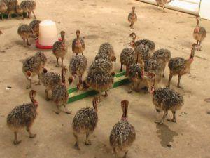Важно, чтобы у страусят всегда была еда
