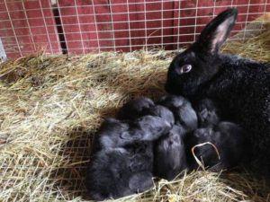 Средний приплод данного вида составляет 7-8 крольчат
