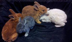 Для разведения лучше выбирать крольчат, а не взрослых особей