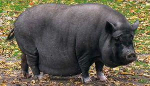 Свиноматки вьетнамской вислобрюхой черной породы отличаются высокой молочностью и ранним половым созреванием