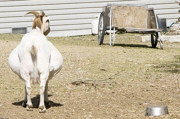 Беременная коза требует к себе больше внимания