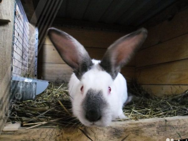 Массивная голова - характерное отличие самца кролика