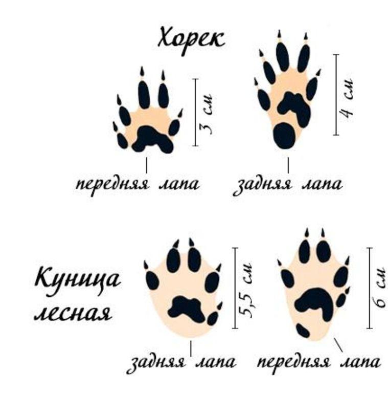 Отпечатки передней и задней лапы хорька и лесной куницы