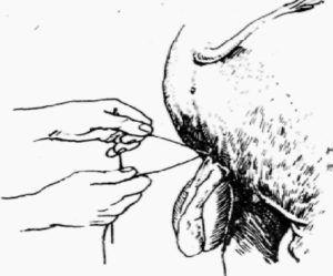 Перевязка семенного канатика при кастрации хряка