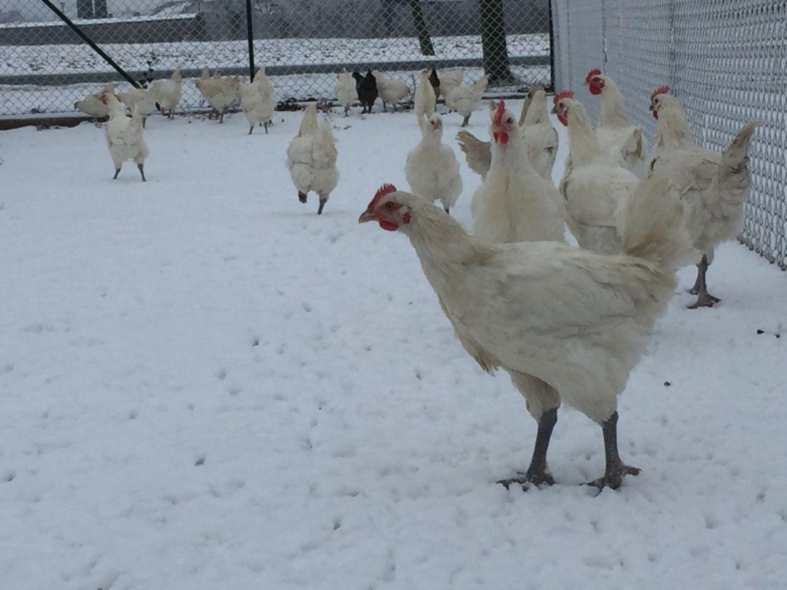Бресс Галльская порода кур на выгуле зимой