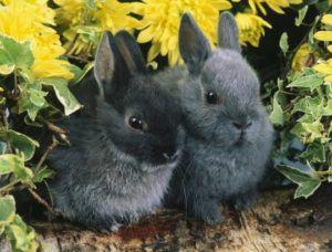 При выборе крольчонка необходимо обращать внимание на характерные особенности породы