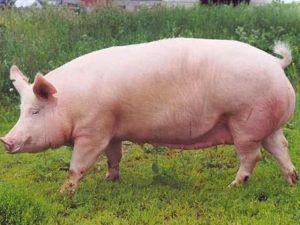 Откормка свиней на убой