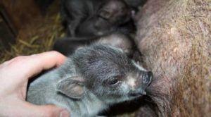 Во время родов желательно помогать вьетнамской вислобрюхой свиноматке