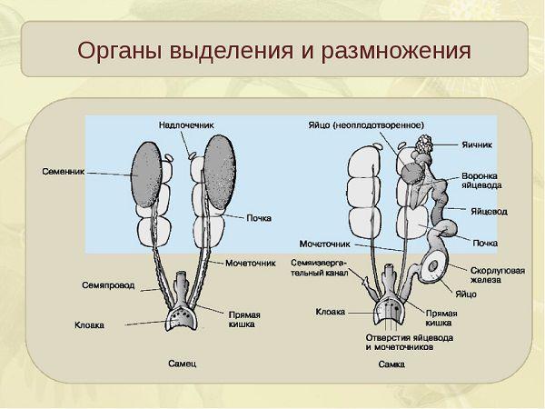Органы выделения и размножения у кур и петухов