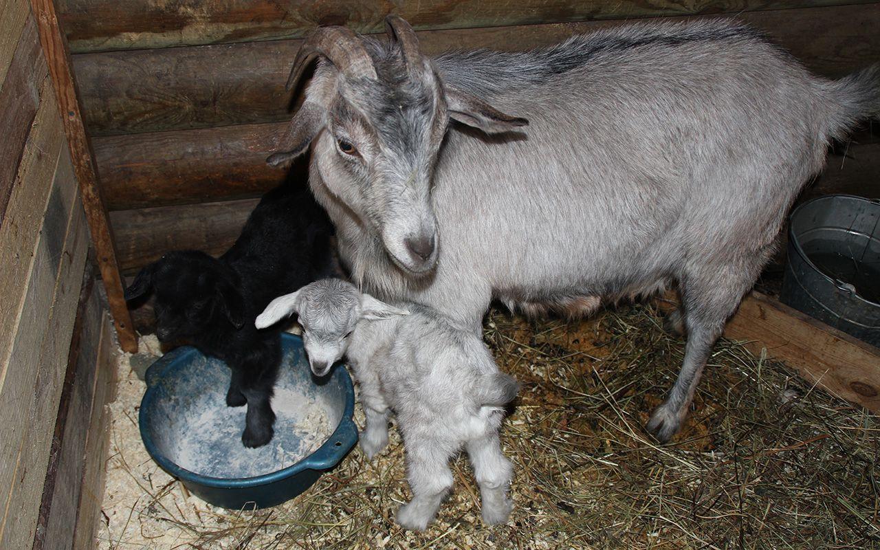 Коза после родов, ни на секунду не оставляет колзлёнка