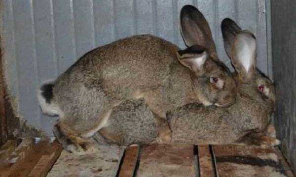 Псевдо-случка двух самок кролика