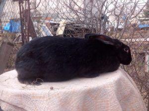 Оплодотворенная крольчиха