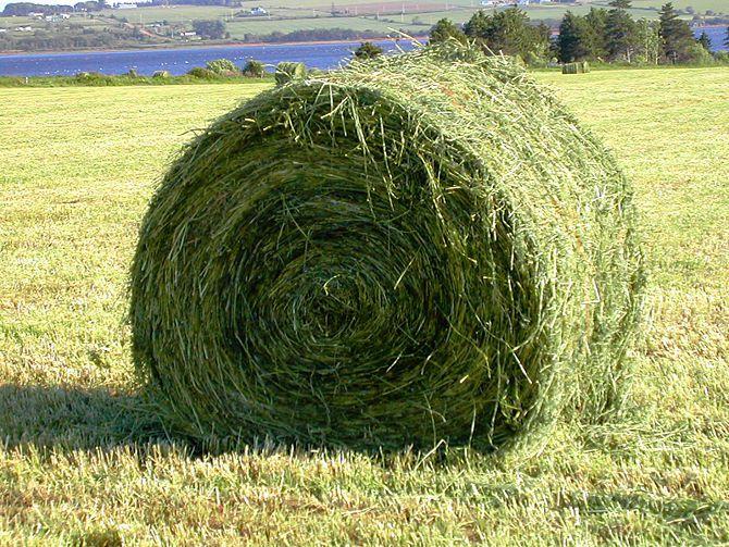 Для кормления стельных коров в сухостойном периоде хорошо подойдет корм на основе сенажа