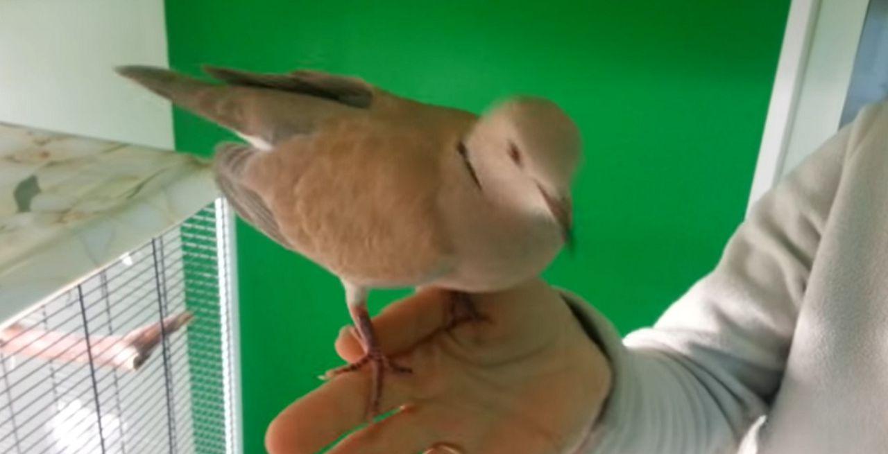 Горлицы очень шумные птицы