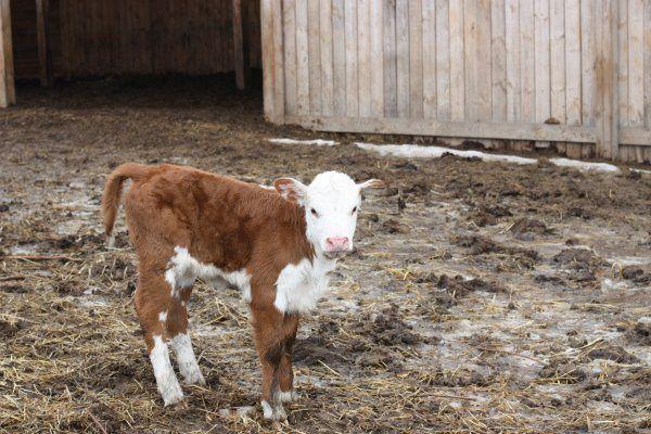 Содержание коров и нетелей в последние месяцы перед отелом на скудном или недоброкачественном корме повышает риск недоразвитого потомства