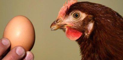 Простота ухода и высокая яйценоскость делать кур породы Хай-Лайн одним из лидеров яичных кроссов